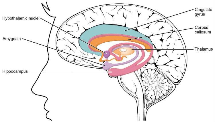 limbic-system-usc-music-brain-study.jpg